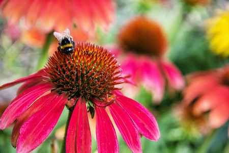 fauna: Bumble-bee pollinating red rudbeckia flowers in the garden. Natural scene. Beauty in nature. Fauna and flora. Vibrant colors.