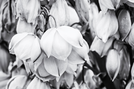 chaparral: Background of Hesperoyucca whipplei flowers. Chaparral yucca, Our Lords candle, Spanish bayonet, Quixote yucca or Foothill yucca is a species of flowering plant. Black and white photo.