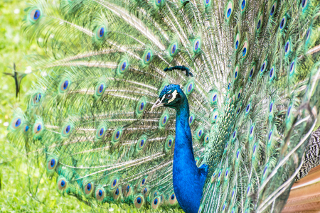 blue peafowl: Indian peafowl or Blue peafowl - Pavo cristatus - a large and brightly coloured bird, is a species of peafowl native to South Asia, but introduced in many other parts of the world. Male (peacock) displaying. Vibrant colors. Animal scene. Stock Photo