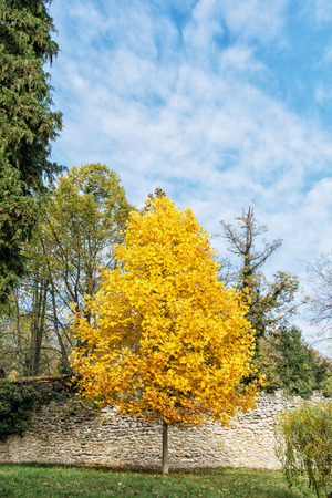 autumn scene: Big yellow tree and blue sky. Autumn scene. Colorful november. Vertical composition. Seasonal nature.