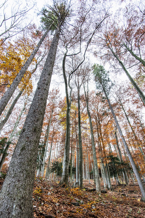 changing seasons: Autumn colorful forest. Natural seasonal scenery. Beautiful tall trees. Vibrant colors. Vertical composition.
