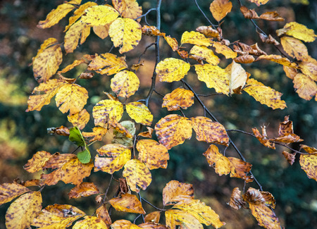 changing seasons: Yellow leaves on the autumn tree. Beauty in nature. Seasonal natural scene. Vibrant colors.