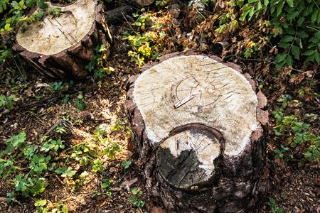 arbol de problemas: Detalle de los tocones de árboles. problema de la deforestación. el tema del medio ambiente. Escenario natural. Foto de archivo