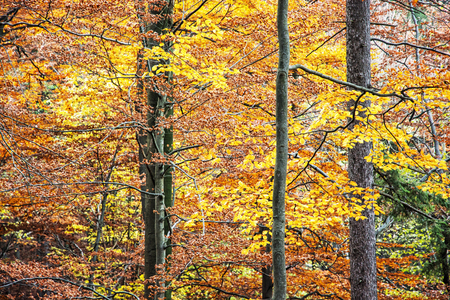 Big yellow trees. Autumn scene. Colorful november. Seasonal natural background. Vibrant colors. Stock Photo