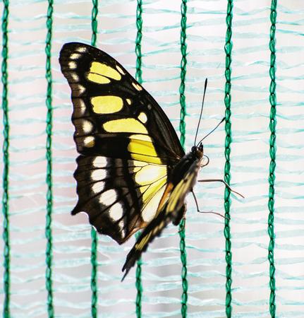 yellow butterfly: Close up photo of yellow butterfly. Beauty in nature. Seasonal natural scene.