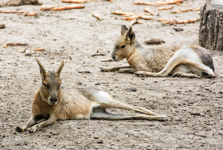 patagonian: Patagonian mara - Dolichotis patagonum is a relatively large rodent in the mara genus. Animal scene. Beauty in nature. Stock Photo