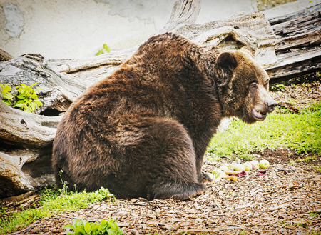 beaty: Brown bear - Ursus arctos arctos - posing and eating green apples. Animal theme. Humorous scene. Beaty in nature.