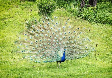 인도 공작 - 공작 cristatus - 남성 (공작) 표시. 자연의 아름다움입니다. 역동적 인 색상. 전면보기. 녹색 풀.