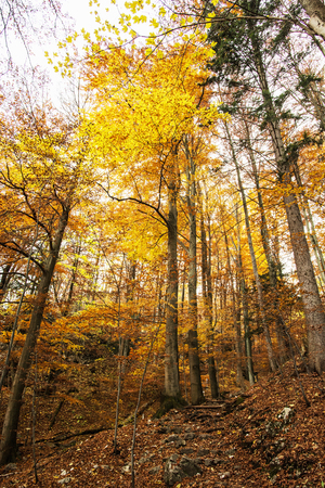 changing seasons: Autumn colorful forest. Natural seasonal scenery. Beautiful tall trees. Vertical composition. Vibrant colors. Yellow scenery. Stock Photo