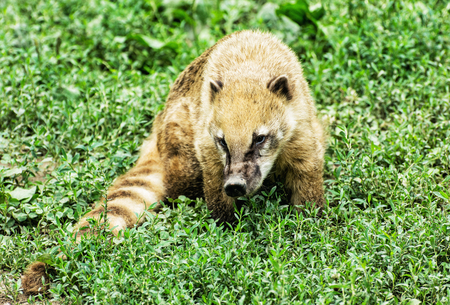 Nasua - Ring-tailed coati - in the green vegetation. Animal scene. Beauty in nature. Stock Photo
