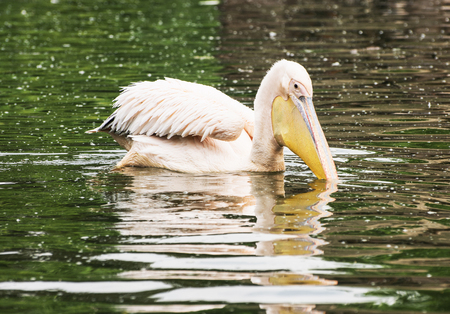 big bird: Great white pelican - Pelecanus onocrotalus - is reflected on the shimmering lake. Big bird portrait. Beauty in nature. Animal scene.
