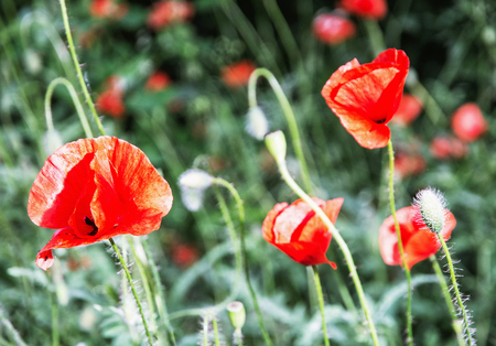 papaver rhoeas: Papaver rhoeas, Corn poppy, Corn rose, Field poppy, Flanders poppy, Red poppy, Red weed, Coquelicot in the summer meadow. Natural scene. Vibrant colors.