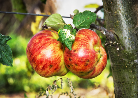 vibrant colors: Red apples on the branch. Seasonal natural scene. Autumn harvest. Vibrant colors. Stock Photo