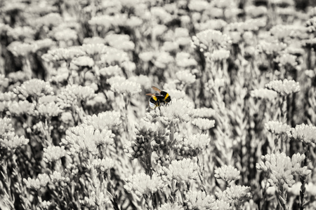colorless: Yellow bumble-bee and colorless sedum flowers. Detailed natural scene. Fauna and flora. Beauty in nature.