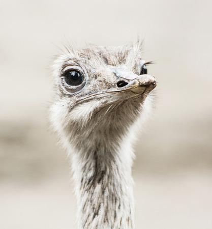 flightless bird: Emu portrait - Dromaius novaehollandiae. Beauty in nature. Flightless bird. Looking at the camera. Humorous scene.
