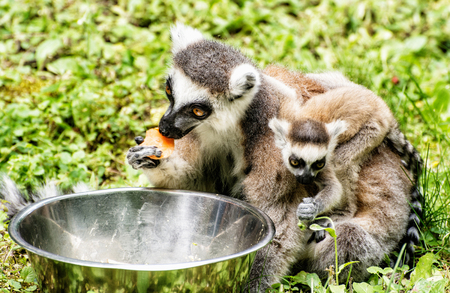 Ring-tailed lemur - Lemur catta - with cub are fed from the bowl. Animals in captivity. Beauty in nature. Stock Photo