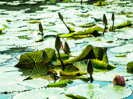 aquatic herb: Beautiful water lilies - nymphaeaceae - in the garden pond. Seasonal natural background. Beauty in nature.