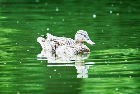 palmiped: Mallard duck in the green pond. Water ripple. Natural scene. Beauty in nature.