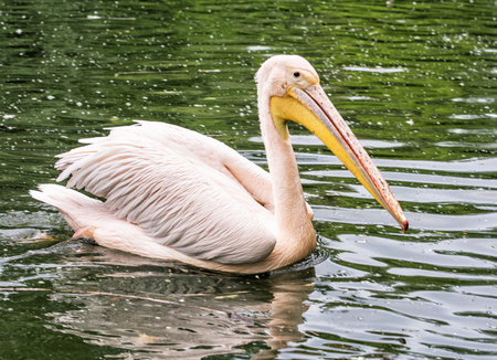 great white pelican: Great white pelican - Pelecanus onocrotalus - is reflected on the shimmering lake. Big bird portrait. Beauty in nature. Animal scene.