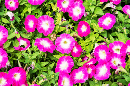 asterids: Background of beautiful pink petunia flowers. Natural scene. Beauty in nature.