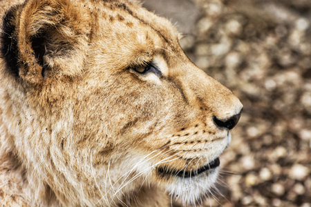 endangered species: Portrait of a Barbary lion - Panthera leo leo. Animal portrait. Lioness closeup. Critically endangered species. Side view. Stock Photo