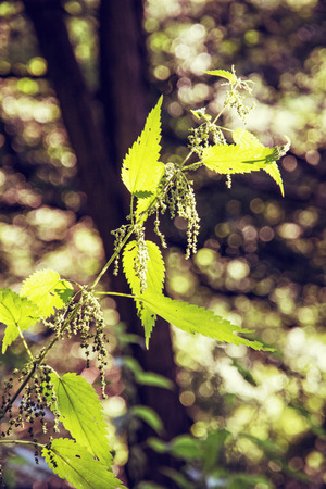 stinging  nettle: Urtica dioica, often called common nettle or stinging nettle is in backlight. Natural scene. Beauty in nature. Retro photo filter. Herbalism theme.
