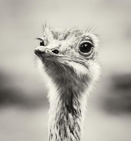 flightless bird: Emu portrait - Dromaius novaehollandiae. Beauty in nature. Flightless bird. Black and white photo. Looking at the camera. Humorous scene.