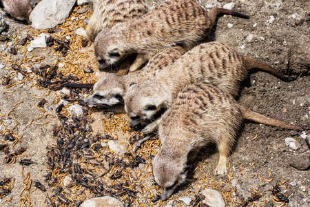 suricata: Group of Meerkats - Suricata suricatta - are fed insect. Animal theme. Beauty in nature.