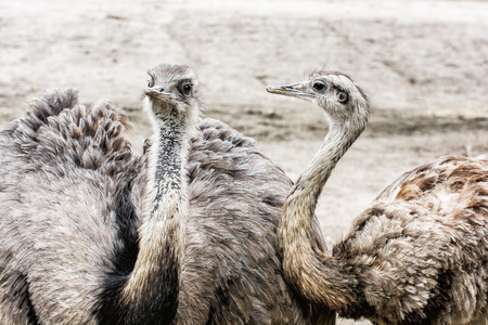 ratite: Pair of Emu birds - Dromaius novaehollandiae. Emu is the second-largest living bird by height, after its ratite relative, the ostrich. Beauty in nature.