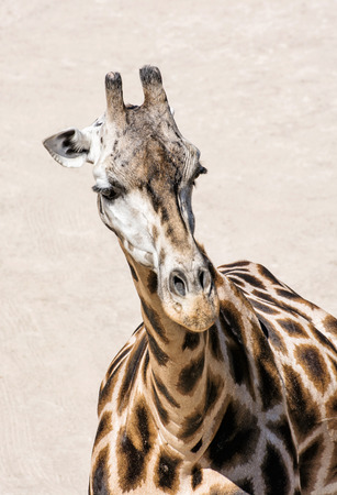 Portrait of Rothschilds giraffe - Giraffa camelopardalis rothschildi. Animal scene. Beauty in african nature. Vertical composition.