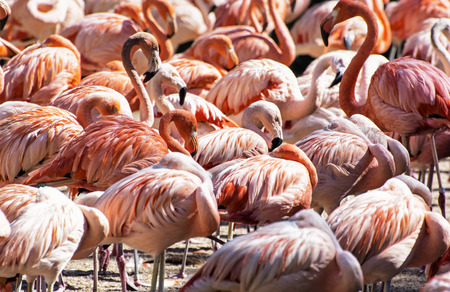 wading: Colony of Chilean flamingo. Animal scene. Vibrant colors. Wading birds. Beauty in nature.