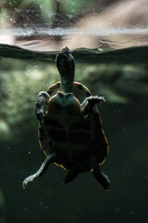 poking: Tortoise poking her head out of the water to breath. Animal scene. Beauty in nature. Turtle in captivity.