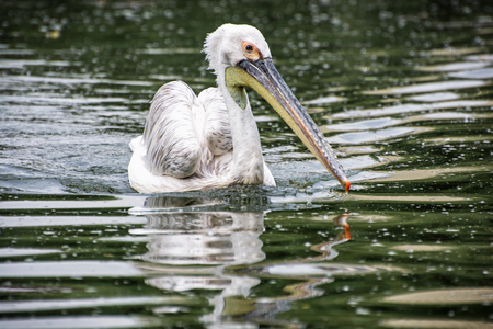 Great white pelican - Pelecanus onocrotalus is swimming on the shimmering lake. Big bird portrait. Beauty in nature. Animal scene.