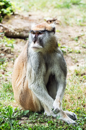 hussar: Patas monkey - Erythrocebus patas, also known as the wadi monkey or hussar monkey, is a ground-dwelling monkey distributed over semi-arid areas of West Africa, and into East Africa.