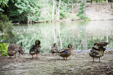 Group of wild mallard ducks on the lake shore. Animal scene. Beauty in nature.