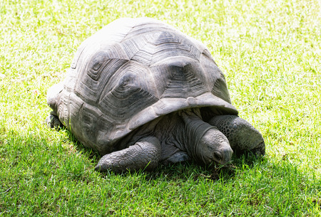 Big turtle feeding in the green grass. Tortoise in captivity. Reptile theme. Beauty in nature. Animals welfare. Stock Photo