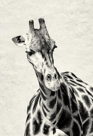vertical composition: Portrait of Rothschilds giraffe - Giraffa camelopardalis rothschildi. Animal scene. Beauty in african nature. Black and white photo. Vertical composition. Stock Photo