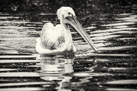Great white pelican - Pelecanus onocrotalus is swimming on the shimmering lake. Big bird portrait. Black and white photo. Animal scene. Stock Photo