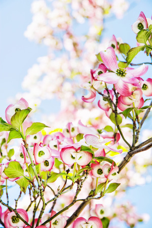Cornus florida - Flowering dogwood - is a species of flowering plant in the family Cornaceae native to eastern North America and northern Mexico.
