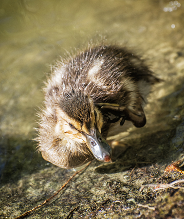 Mallard duckling – Anas platyrhynchos – in the water. Young one. Detailed natural scene.