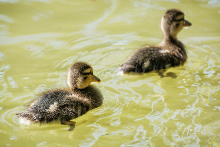 Two little Mallard ducklings – Anas platyrhynchos. Reflections in water. Young ones. Dabbling duck.