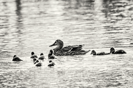 youngs: Beautiful wild Mallard duck with youngs – Anas platyrhynchos. Animal theme. Black and white photo. Stock Photo