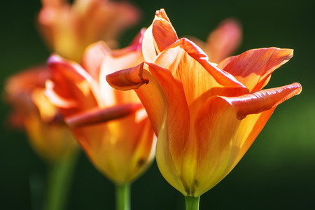 Blooming orange tulips in the spring park. Detailed natural scene. Spring time. Stock Photo