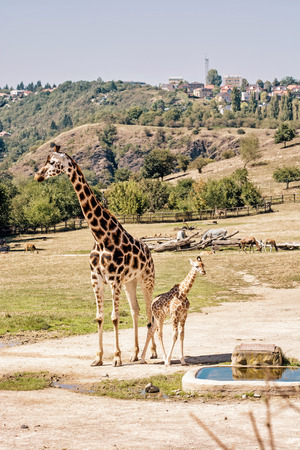 Rothschilds giraffe with cub at Prague zoo. Animals of african safari. Giraffa camelopardalis rothschildi. Retro photo filter.