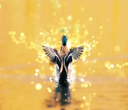 Mallard duck - Anas platyrhynchos - fly out of yellow water. Bird scene. Shimmering background. Photo filter. Stock Photo