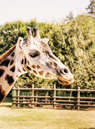 Rothschilds giraffe – Giraffa camelopardalis rothschildi in captivity. Animal scene. Yellow photo filter.