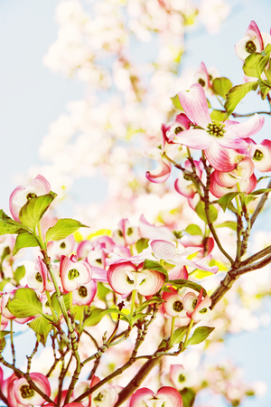 Cornus florida - Flowering dogwood - is a species of flowering plant in the family . Photo filter.