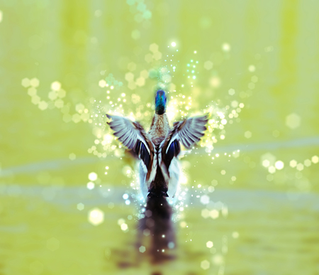 Mallard duck - Anas platyrhynchos - fly out of yellow water. Bird scene. Green photo filter. Shimmering background.