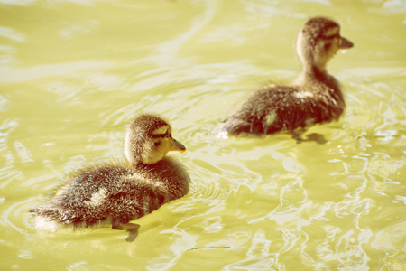 Two little mallard ducklings – anas platyrhynchos. Reflections in water. Young ones. Yellow photo filter. Dabbling duck.