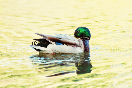 palmiped: Mallard duck - Anas platyrhynchos - swims in the lake. Reflections in water. Bird scene. Photo filter.